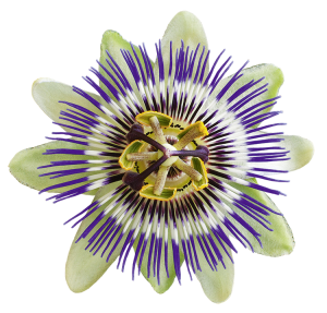Bluete_Passiflora_Web