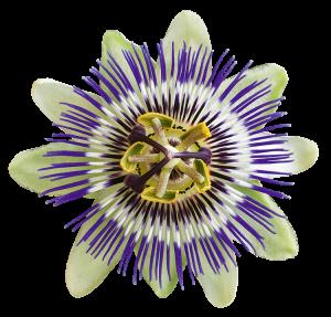 Der Extrakt der Passionsblume wirkt beruhigend und entspannend.