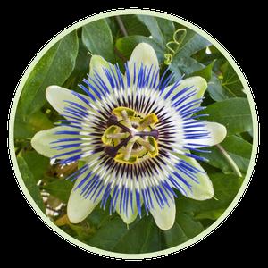 Passionsblume beruhigt auf natürliche Art