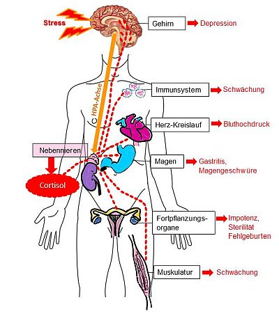 ein stressbedingter hoher Cortisolspiegel hat schädliche Auswirkungen auf die Gesundheit