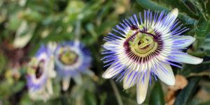 Passiflora incarnata Heilkräuter der Seele