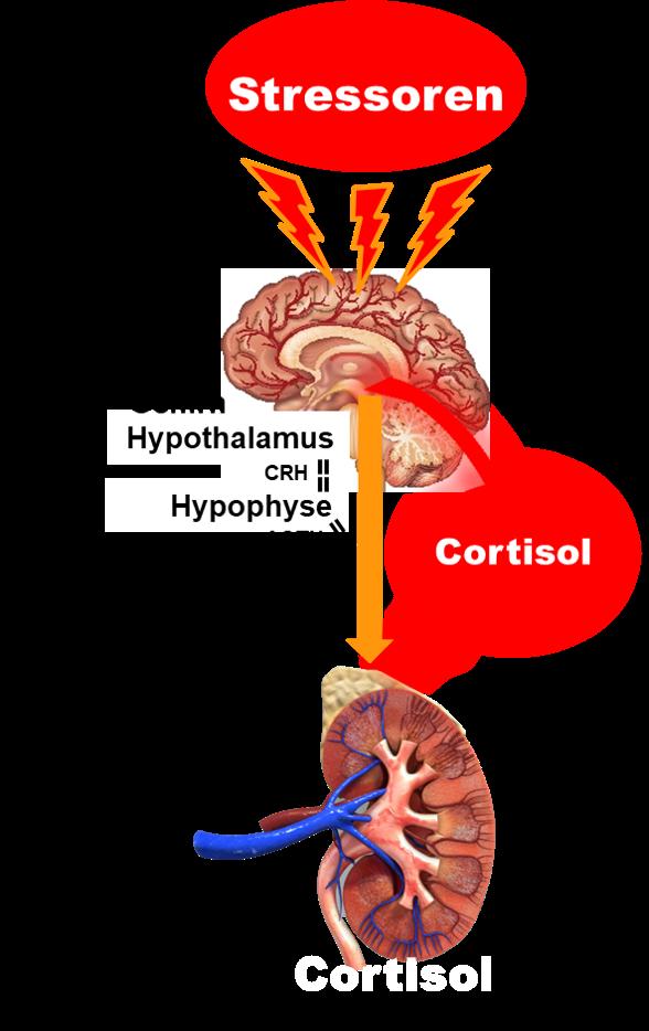 Stressreaktion über die HPA-Achse